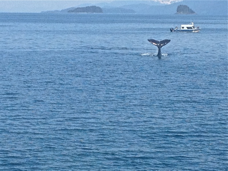 Alaskan Whale Watching Cruise - fluke
